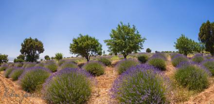 lavendel-panorama